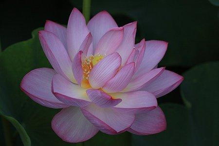 2011.07.17 大船植物園 蓮 4