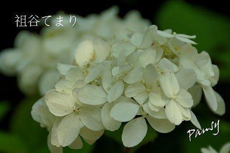 祖谷てまり・・光則寺の山アジサイ 60