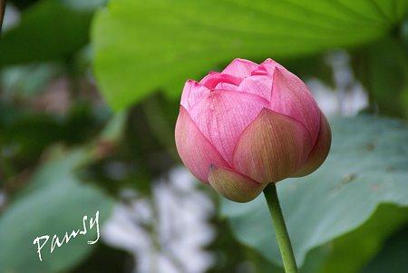 三渓園の蓮たち・・9