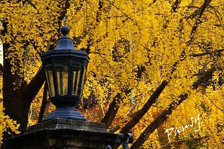 銀杏 yellow の街角・・3