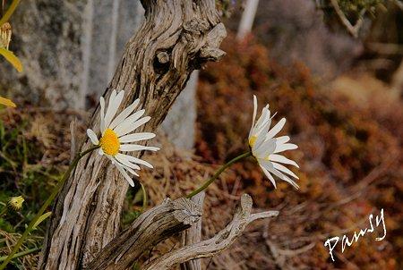 白い花・・