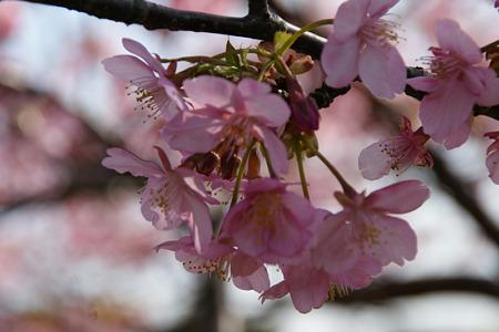 河津桜がいっぱい!(110226)