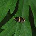 ウツギヒメハマキ 20110709