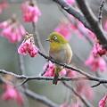 110309-4寒緋桜とメジロ