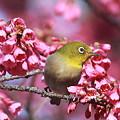 110326-3寒緋桜とメジロ