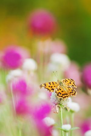 絵になる蝶