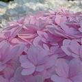 Photos: 桜色に満開