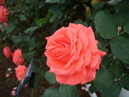 fujichuo-rose2