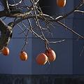 Photos: 柿を見ながら思いふける