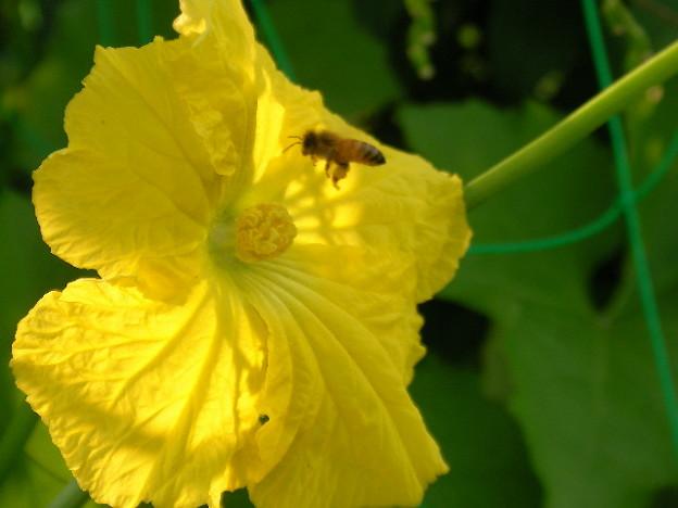 ヘチマの花とミツバチ