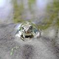 半身浴中のカエル