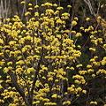 Photos: ……黄色い花