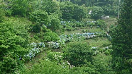 白糸の滝(2)紫陽花