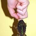 Photos: 食いしん坊ベルツノガエル