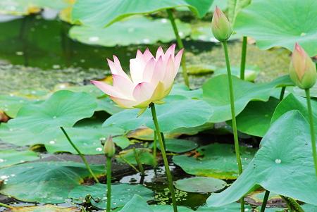 蓮の花09