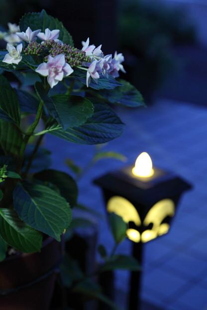 わが家のアジサイ ライトアップ(o^^o)♪
