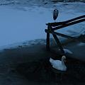 白鳥池で、アオサギとコブハクチョウ