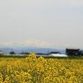菜の花畑(1) 白山