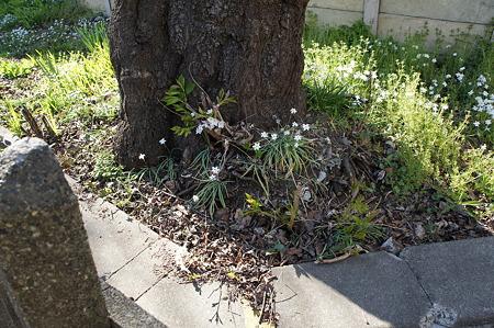桜の木の下に桜