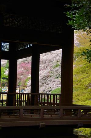 涼亭から対岸桜