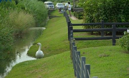 白鳥の風景1