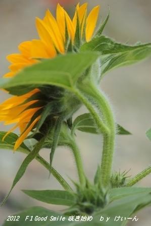 2012 ミニひまわりの咲き始め・・・花の下に蕾が