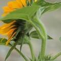 Photos: 2012 ミニひまわりの咲き始め・・・花の下に蕾が
