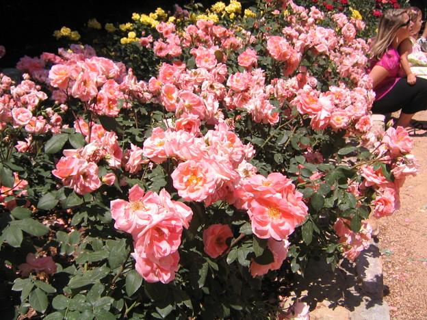 Sarah Duke Garden - Pink Rose