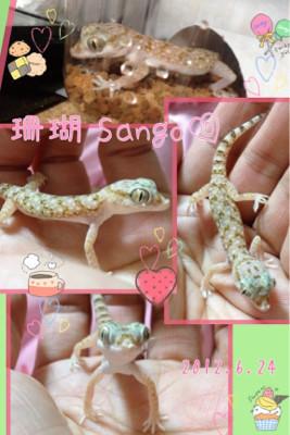 ナミハリユビヤモリの珊瑚☆