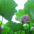 Photos: 北限に観る蓮の花まつり 本日、平川市尾上の猿賀公園に行ってきました (4)