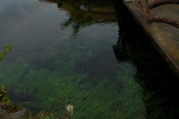 湧き出す水の流れで激しく揺れる水草