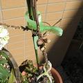 写真: 桃が芽吹いてきました