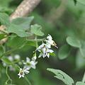 ヒヨドリジョウゴの花1