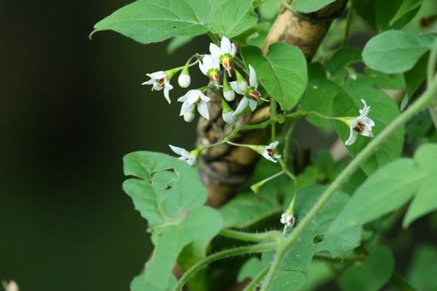 ヒヨドリジョウゴの花2