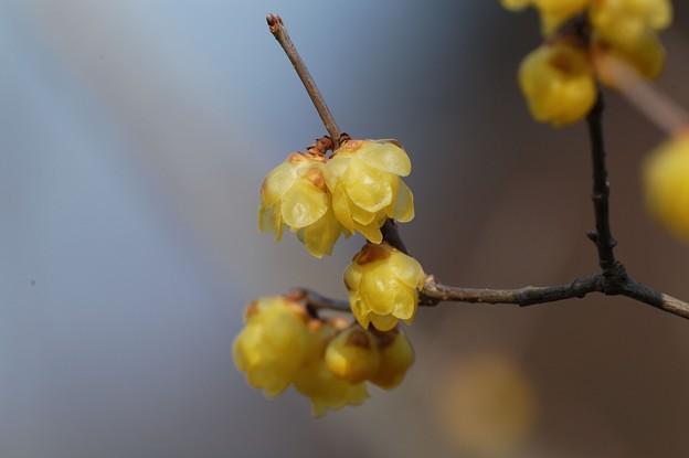 樹上の蝋梅